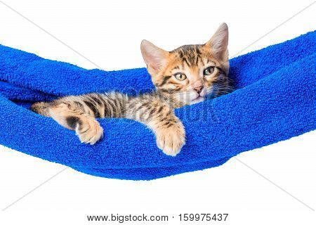 Bengal Kitten Relaxes In A Hammock Isolated Photo