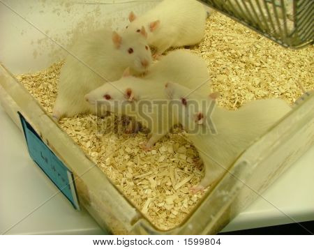 Box Of White Lab Rats