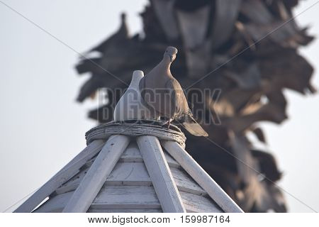 Pigeons / Pigeon sitting on the roof of the gazebo next to the figure of a dove made ​​of wood.