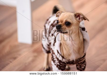 Chihuahua in a warm suit in the house looking sideways.
