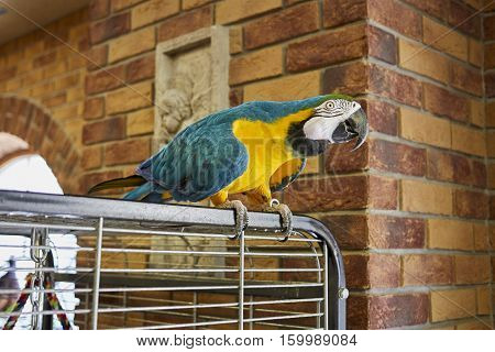 Macaw parrot on a branch with a brick wall background. Macaw parrot in the office.  Ara parrot.