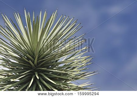 Joshua tree, close-up