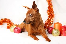 Brown Miniature Pinscher lying down in front of white background