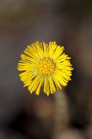 single yellow coltsfoot (Tussilago farfara) as background