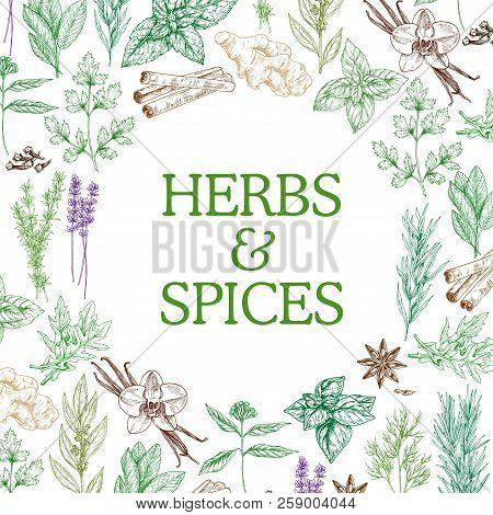 Herbs And Spices Sketch Herbal Plants. Vector Seasoning And Flavorings Of Star Anise Seeds, Ginger O