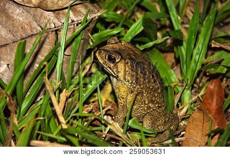 Frog in grass with fallen leaves extreme close up, anuran at night poster