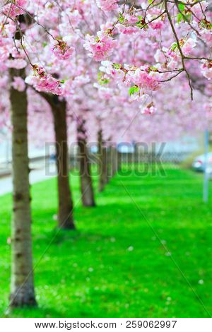 Cherry blossoms in the city Park. Pink Blossoms in Central Park Landscape