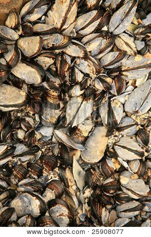 blue mussel,