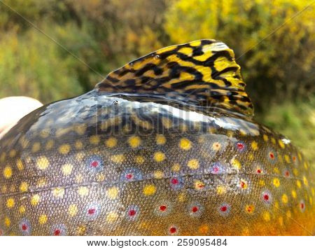 Bright Colors Of A Brook Trout And Its Dorsal Fin