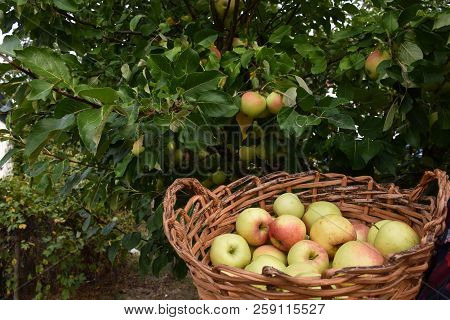 Bunch Of Beautiful Ripe Just Harvested Apples By An Apple Tree