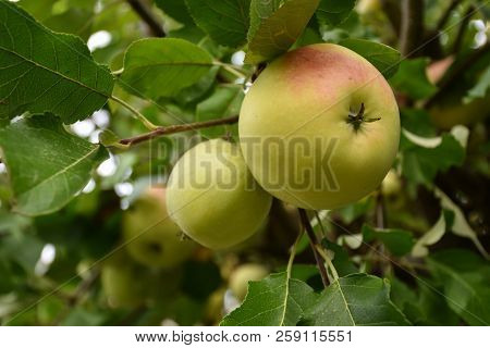 Delicious Growing Ripe Red And Yellow Apples Among Green Leaves In An Apple Tree