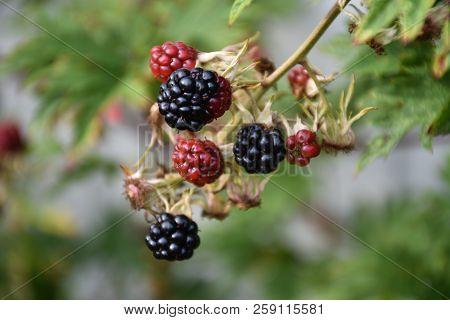 Growing Ripe And Unripe Colorful Blackberries Closeup