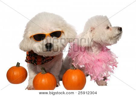 Beau and Fifi both Bichon Frises isolated on white poster