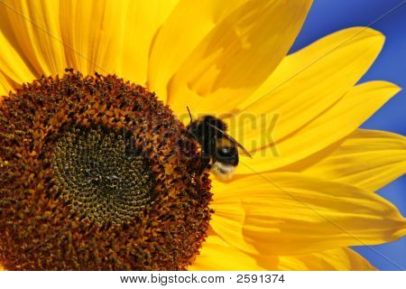 Bumble-Bee On A Sunflower