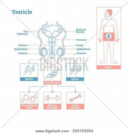 Testicle - Part Of Endocrine System.medical Science Vector Illustration Diagram.biological Scheme Wi