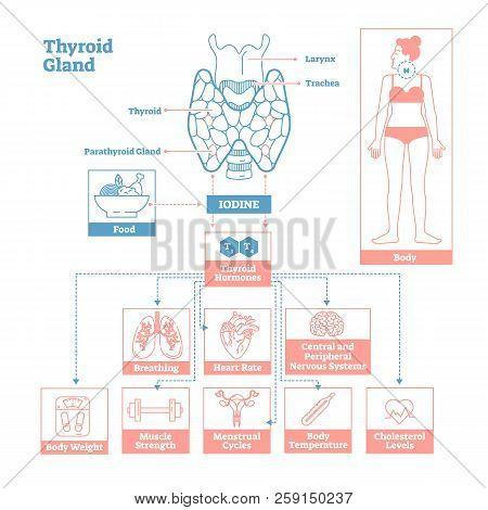 Thyroid Gland Of Endocrine System.medical Science Vector Illustration Diagram.biological Scheme With