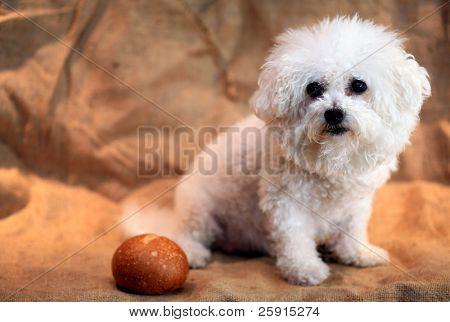 Fifi the Bichon Frise enjoys fresh baked bread