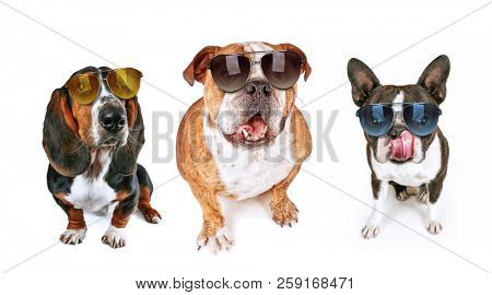 three dogs looking up begging for food wearing sunglasses on an isolated white background