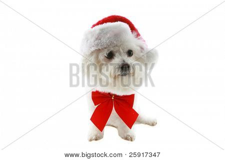 a bichon frise wears a red bow and santa hat for christmas, isolated on white poster