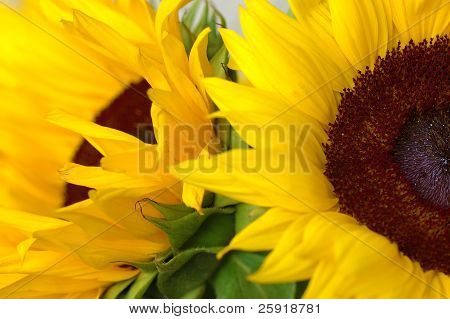 Two pretty sunflowers