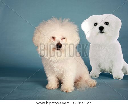"""Fifi the Bichon Frise"" sits next to a live size photo ""Cardbard Cut Out"" of herself on a blue background poster"
