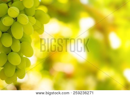 Close-up Image of Ripe Bunche of the White Wine Grapes on Vine