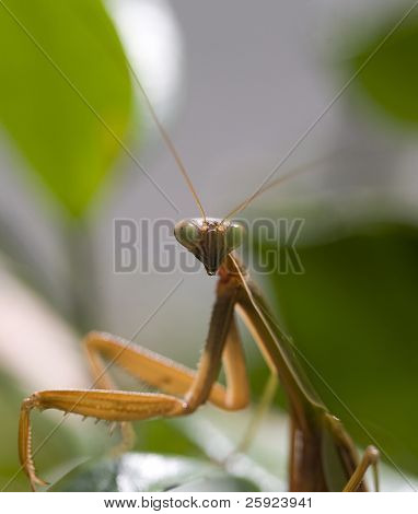 Macro portrait of a california preying mantis in his garden with shallow depth of field