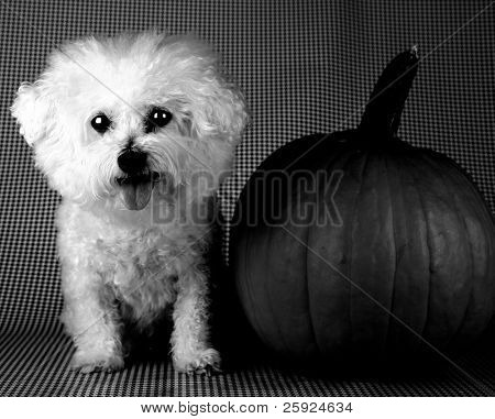 a moody black and white version of Fifi the Bichon Frise sitting next to her halloween pumpkin on a black and white background