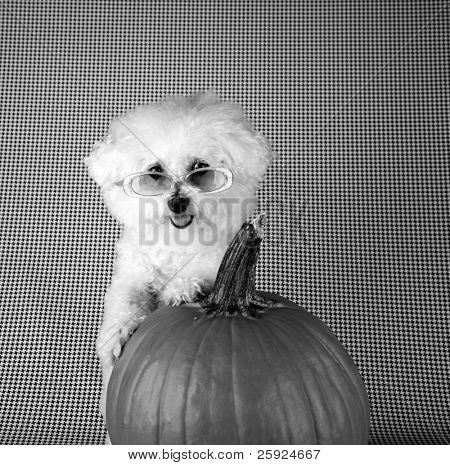 Fifi the Purebred Bichon Frise smiles as she poses with her pumpkin for halloween and autumn againts a black and white background poster