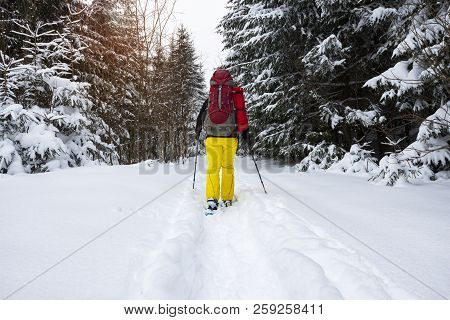 Adventurer, With Big Backpack, Walks In Snowshoes Among Huge Pine Trees Covered With Snow. Awesome T