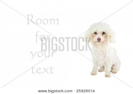 chloe the bichon frise has a message for all pet owners, isolated on white with room for your text