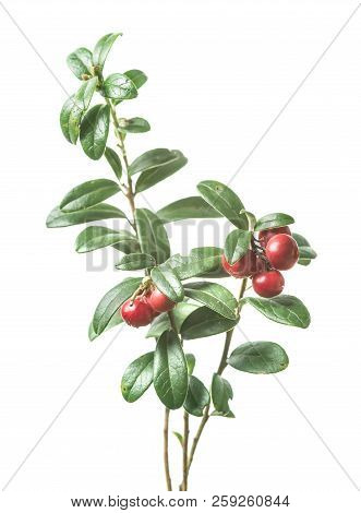 Fresh Ripe Cowberry With Leaves Isolated On White Background