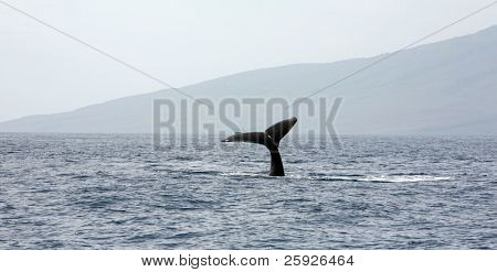humpback whale tail slapping the tropical waters of Maui Hawaii