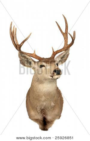 "a stuffed ""black tail"" deer also known as a ""mule deer"" isolated on white with room for your text poster"