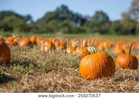 Pumpkin Patch. Fresh Orange Pumpkins On A Farm Field. Rural Landscape. Copy Space For Your Text. Blu