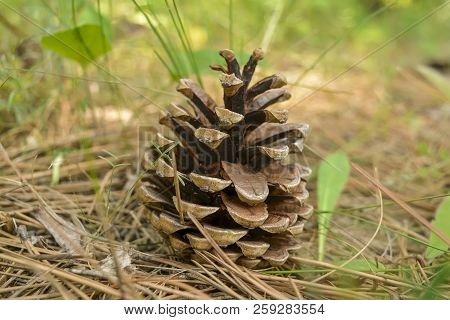 One Big Pine Cone Lying On The Ground Surrounded By Pine Needles. A Large Pine Cone On The Ground.