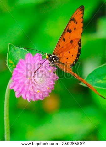Close-up Of A Beautiful European Peacock Butterfly (aglais Io) Who Sits On A Yellow Lantana Flower I