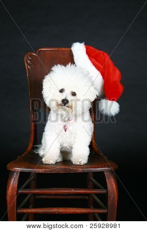Jolie a pure breed Bichon Frise wears Christmas Bow and sits beside a christmas present box wishing everyone a Happy Holiday poster