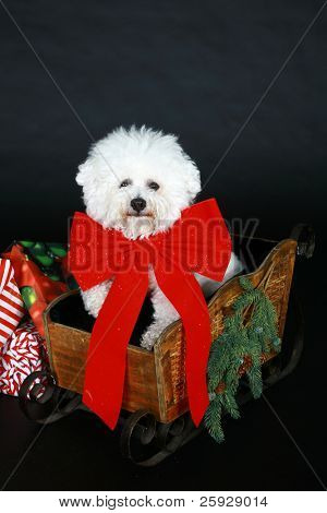 Jolie a pure breed Bichon Frise wears Christmas Bow and sits beside a christmas present box wishing everyone a Happy Holiday
