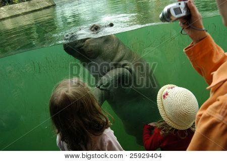 Tree-months-old hippopotamus (Hippopotamus amphibius) at Berlin Zoo, Germany