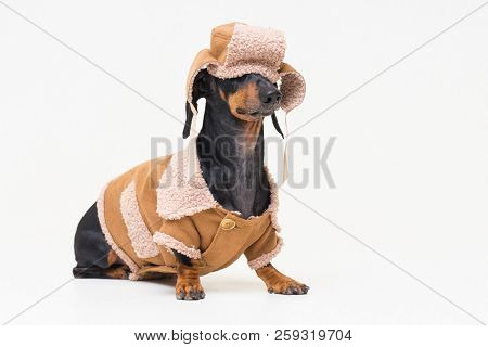 Portrait On A Cute Dog Breed Dachshund, Black And Tan,  In Winter Clothes, Fur Hat, Fallen On Eyes,