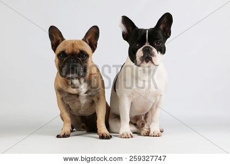 Two Beautiful French Bulldogs Are Sitting Together In The Studio