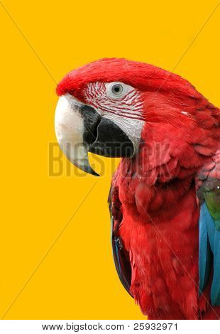Green-winged macaw (Ara chloroptera) isolated on yellow. These parrots live in Central and South America from Mexico to Brazil.