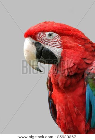 Green-winged macaw (Ara chloroptera) isolated on gray. These parrots live in Central and South America from Mexico to Brazil.