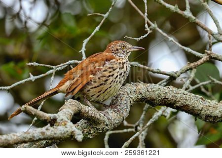 Brown Thrasher (toxostoma Rufum)  The Brown Thrasher  Is Noted For Having Over 1000 Song Types,   An