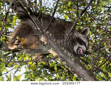 Looking Up At A Mad Juvenile Raccoon In A Leafy Tree Snarling With Its Teeth And Gums In Full View.