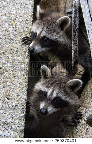 The Heads Of Two Baby Raccoons Popping Up Between Cement Blocks.