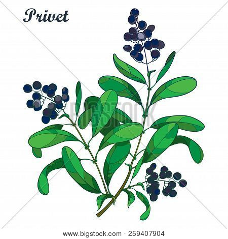 Vector Branch With Outline Poisonous Plant Privet Or Ligustrum. Fruit Bunch, Black Berry And Ornate