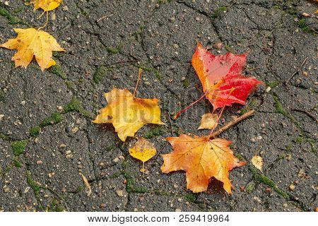 The Leaves Of The Maple Lie Bright And Colorful On The Wet Asphalt. Wet Fallen Leaves. Golden Autumn