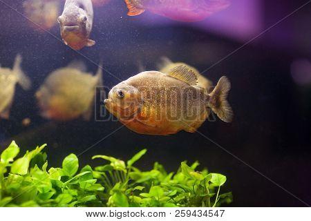 Tropical Red Piranha Serrasalmus Nattereri In Natural Environment